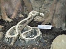 Burmese python snake skeleton Royalty Free Stock Photo