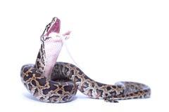 Isolated burmese python (molurus bivittatus) eats rat. Burmese python swallowing his prey (rat Royalty Free Stock Photo