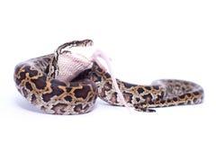 Isolated burmese python (molurus bivittatus) eats rat. Burmese python swallowing his prey (rat Stock Image