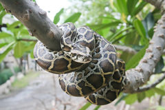 Burmese python. A Burmese python on the tree royalty free stock image