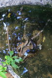 burmese pytonorm Royaltyfri Foto