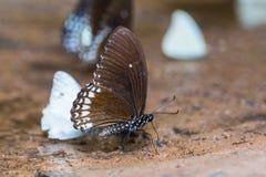 Burmese Raven butterfly Stock Photography