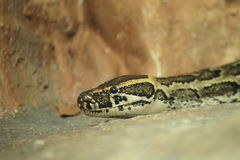 Burmese rock python. The detail of hissing burmese rock python royalty free stock photography