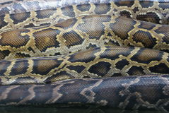 Burmese Rock Python - Python molurus Stock Photos