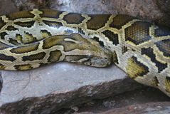 Burmese Rock Python - Python molurus Stock Photo