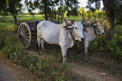 Burmese rural transportation with two oxen and wooden cart at Ba stock images