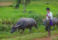 Burmese shepherd in Myanmar. SHAN STATE , MYANMAR - SEP 06: Burmese shepherd in a pasture with a buffalos in Shan state Myanmar on September 06 2017 Stock Images