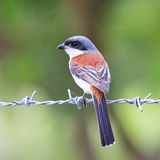 Burmese Shrike Stock Photos