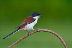 Burmese Shrike bird Stock Photos