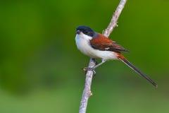 Burmese Shrike bird Royalty Free Stock Photography
