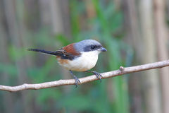 Burmese Shrike (Lanius collurioides) Royalty Free Stock Image