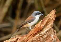 Burmese Shrike (Lanius collurioides) Royalty Free Stock Photos