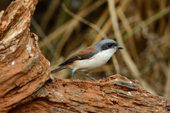 Burmese Shrike (Lanius collurioides) Royalty Free Stock Photography