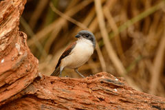 Burmese Shrike (Lanius collurioides) Stock Photography