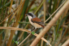 Burmese Shrike (Lanius collurioides) Stock Photos