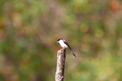 Burmese Shrike Stock Photo
