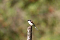 Burmese Shrike Stock Photography