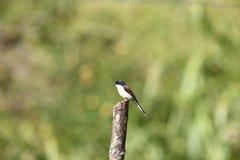 Burmese Shrike Stock Photos