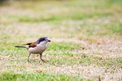 Burmese Shrike migratory to the park. Burmese Shrike migratory to the Tropical Park Thailand stock photography