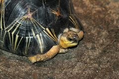Burmese Star Tortoise Royalty Free Stock Image