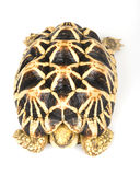 Burmese Star Tortoise Stock Photography