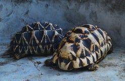 Burmese star tortoise stock photos
