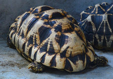 Burmese star tortoise Stock Photography