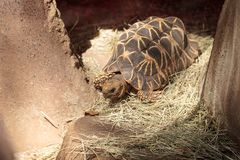 Burmese star tortoise Geochelone platynota. Is a critically endangered species found in Myanmar Royalty Free Stock Image