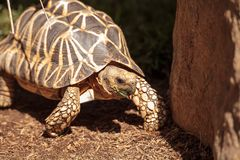Burmese star tortoise Geochelone platynota. Is a critically endangered species found in Myanmar Stock Photos