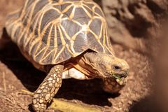 Burmese star tortoise Geochelone platynota. Is a critically endangered species found in Myanmar Royalty Free Stock Image