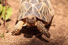 Burmese star tortoise Geochelone platynota. Is a critically endangered species found in Myanmar Stock Images