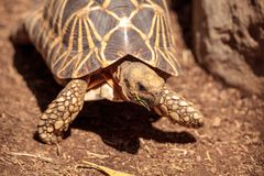 Burmese star tortoise Geochelone platynota. Is a critically endangered species found in Myanmar Royalty Free Stock Photo