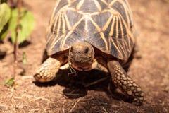 Burmese star tortoise Geochelone platynota. Is a critically endangered species found in Myanmar Royalty Free Stock Photos