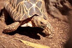 Burmese star tortoise Geochelone platynota. Is a critically endangered species found in Myanmar Royalty Free Stock Photography