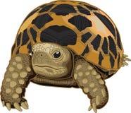 Burmese star tortoise Royalty Free Stock Photos