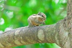 Burmese Stripe Squirrel Stock Photos