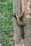 Burmese Striped Squirrel climbing up a tree Stock Image