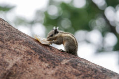 Burmese striped squirrel eating its food Stock Photos