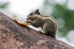 Burmese striped squirrel enjoying its food Royalty Free Stock Photo