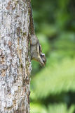 Burmese Striped Squirrel. A Himalayan Striped Squirrel running down from the tree Stock Images
