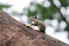 Burmese striped squirrel pauses from eating Stock Photo