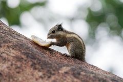 Burmese striped squirrel smelling its food Stock Photos