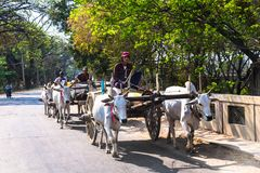 Burmese traditional transportation, wooden cart two white cows p royalty free stock photo