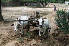 burmese vagn Arkivfoton