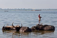 Burmese woman and bulls Stock Photos