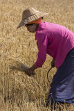 Harvesting - Burmese Agriculture - Myanmar (Burma) Royalty Free Stock Photography