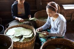 Burmese women are choosing the leaves for cigars Myanmar Stock Photo
