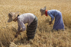 Harvesting - Burmese Agriculture - Myanmar (Burma) Stock Photo