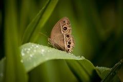 BurmeseBushbrown fjäril Fotografering för Bildbyråer