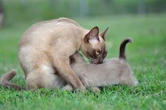 Burmesemoderkattungen som skyddar henne, behandla som ett barn kattungen Arkivfoto